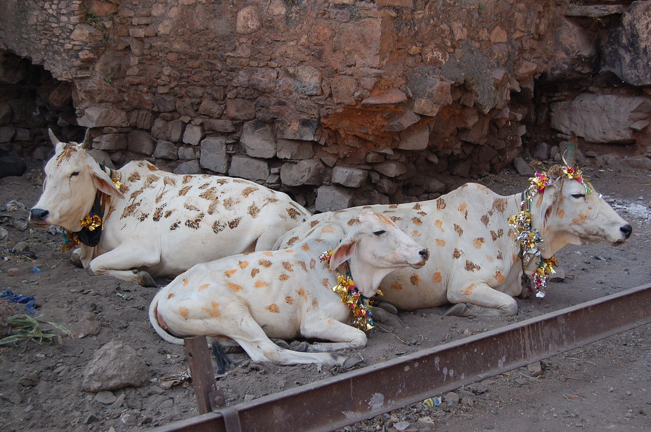 Cows decorated for Diwali.jpg
