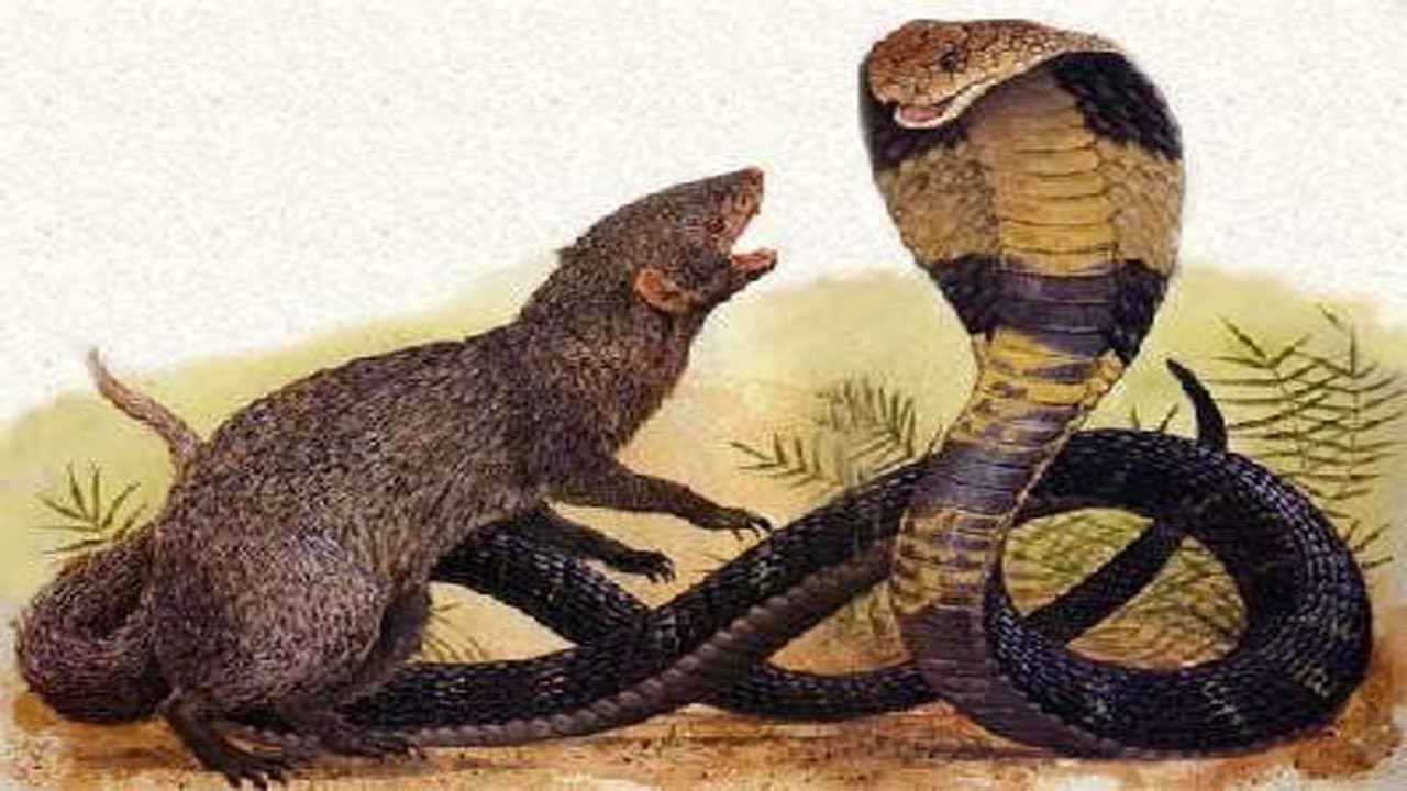 Image result for Indian cobras and mongooses under a tree